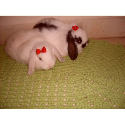 MINI COELHO Fuzzy Lop , Mini Lop , Hotot, Lion Head